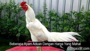 Beberapa Ayam Aduan Dengan Harga Yang Mahal