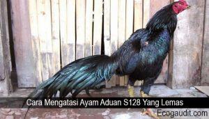 Cara Mengatasi Ayam Aduan S128 Yang Lemas