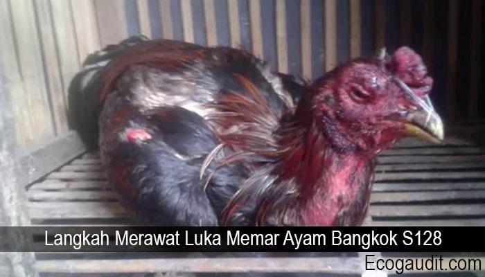 Langkah Merawat Luka Memar Ayam Bangkok S128