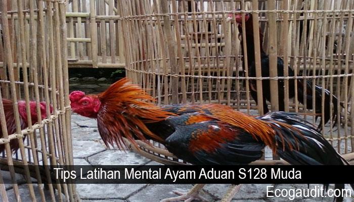 Tips Latihan Mental Ayam Aduan S128 Muda