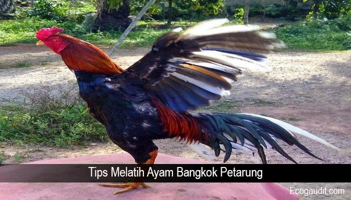 Tips Melatih Ayam Bangkok Petarung