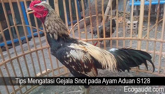 Tips Mengatasi Gejala Snot pada Ayam Aduan S128