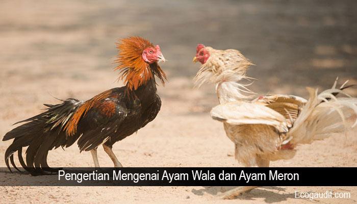 Pengertian Mengenai Ayam Wala dan Ayam Meron