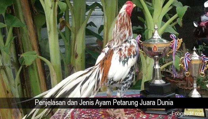 Penjelasan dan Jenis Ayam Petarung Juara Dunia